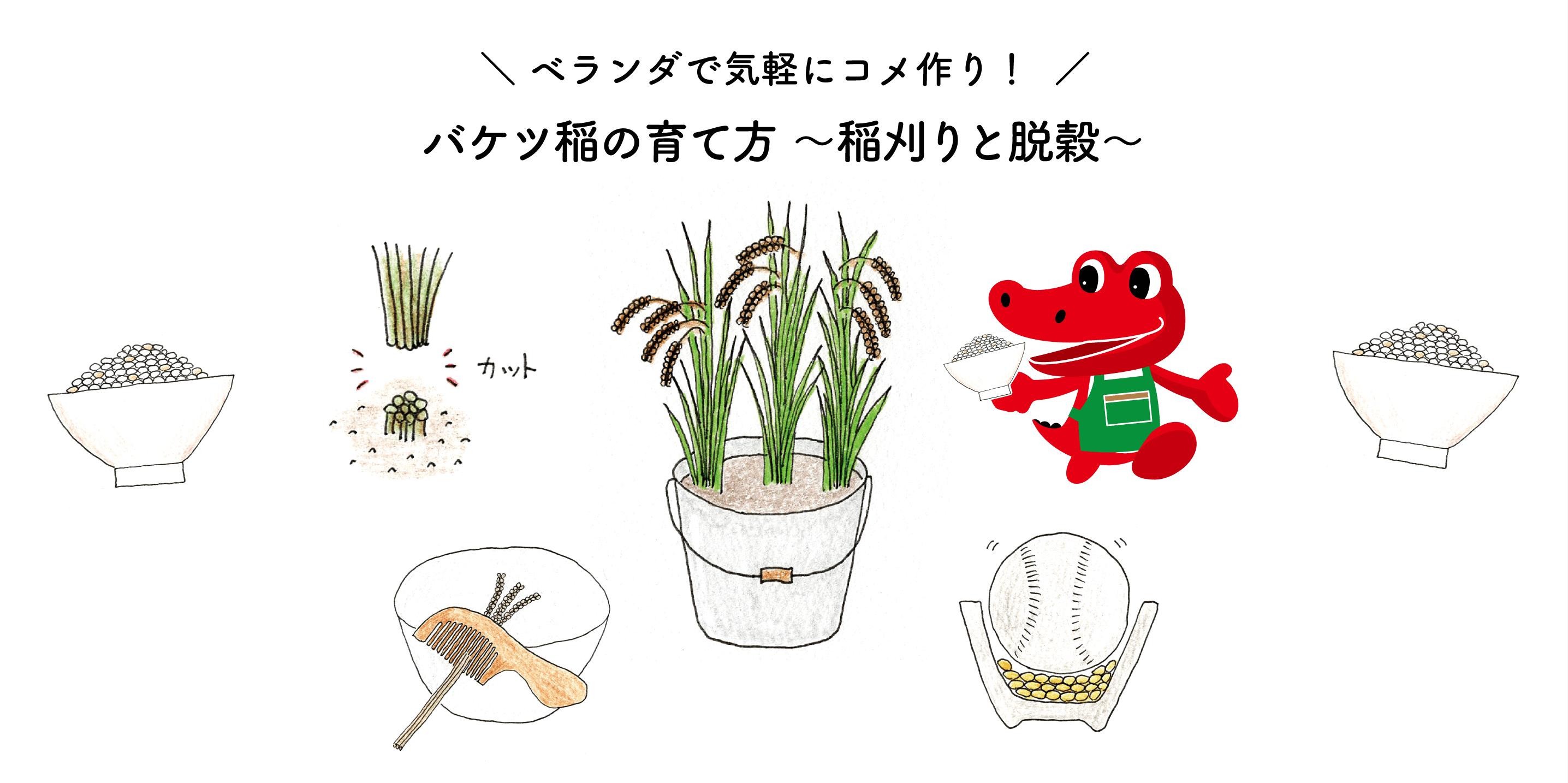 バケツ稲の育て方 ~稲刈りとカンタン脱穀~