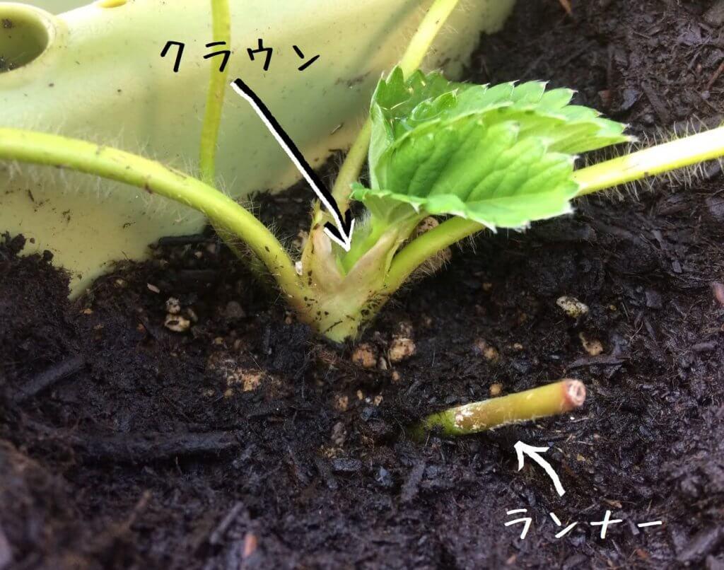 イチゴ(いちご・苺)をプランターで育てる4つのコツ_クラウンとランナーの説明写真