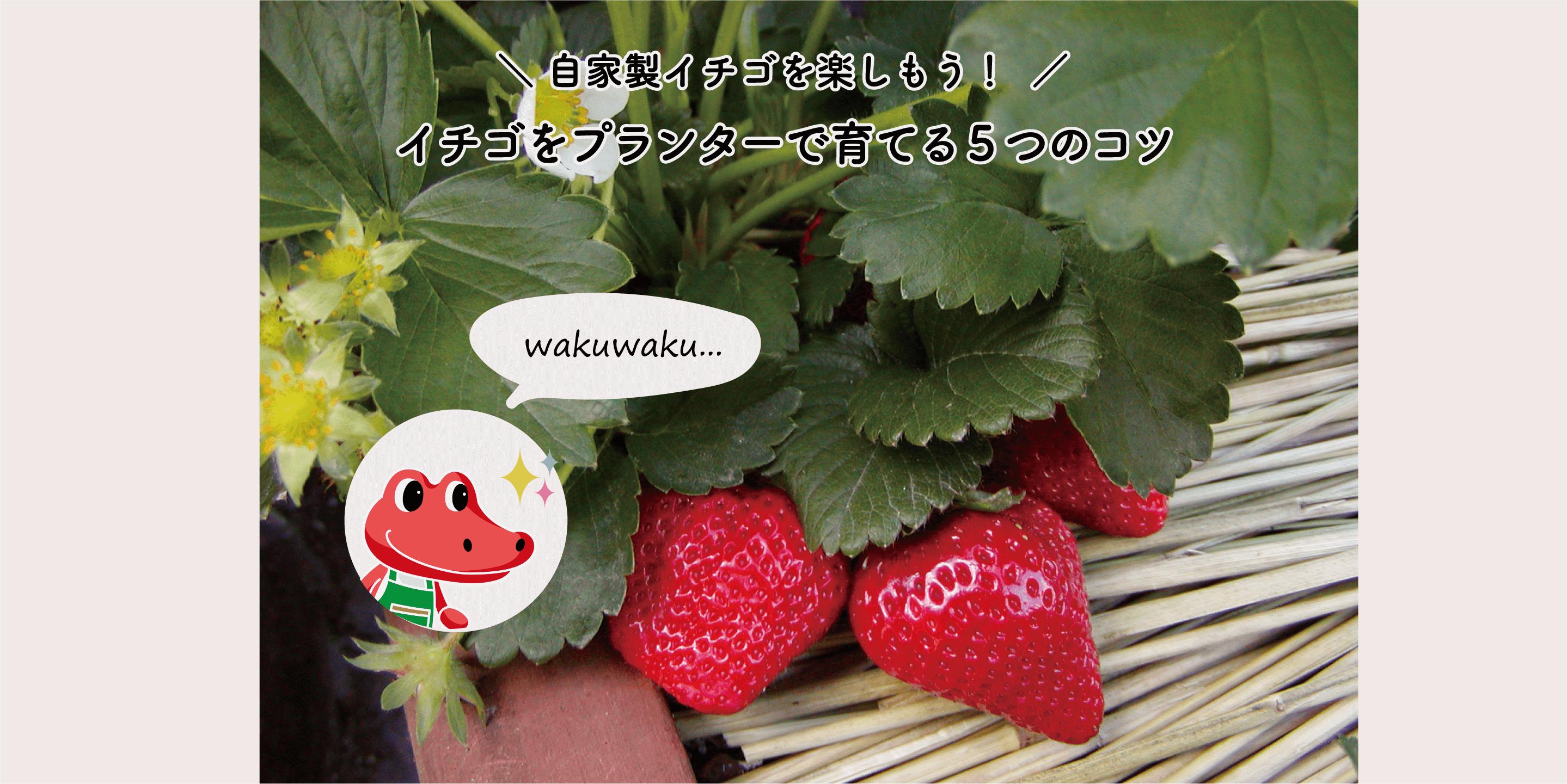 イチゴ(いちご・苺)をプランターで育てる5つのコツ