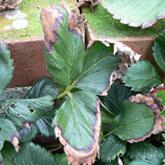 傷んだイチゴの葉