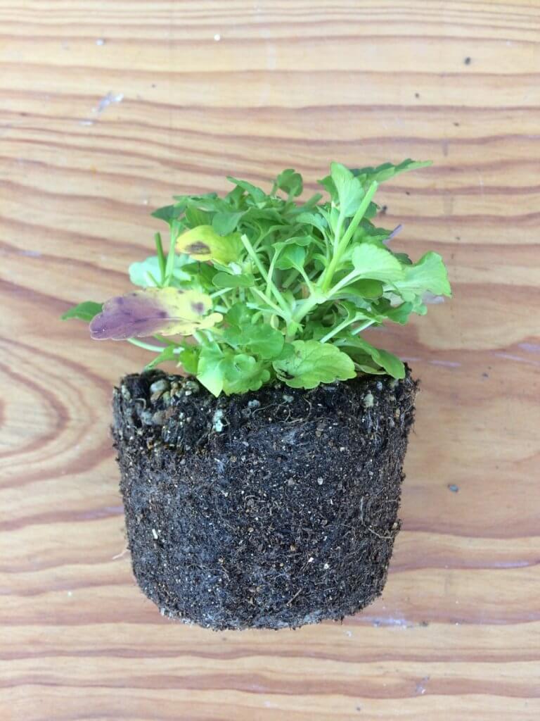 冬のエディブルフラワー育て方_悪い苗の例