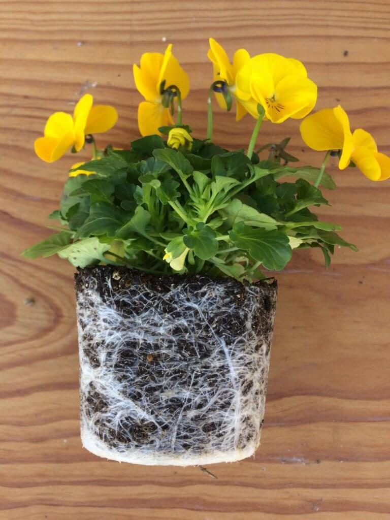 冬のエディブルフラワー育て方_良い苗の例