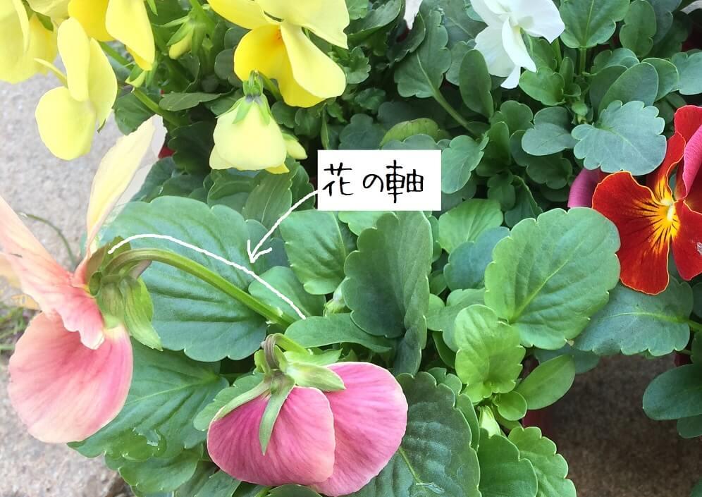 冬のエディブルフラワー育て方_収穫のポイント(花の軸の位置)
