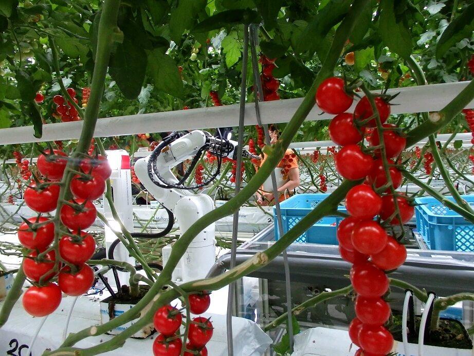 これからの農業_ミニトマトを収穫する自動収穫機「FARO」の写真