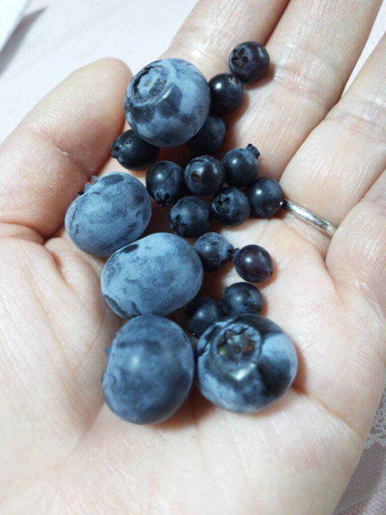 果樹盆栽_ビルベリーの写真