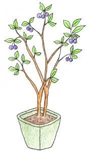 果樹盆栽_ブルーベリーのイラスト