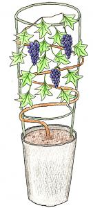果樹盆栽_ぶどうのイラスト