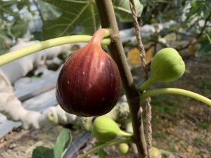 果樹盆栽_イチジクの写真