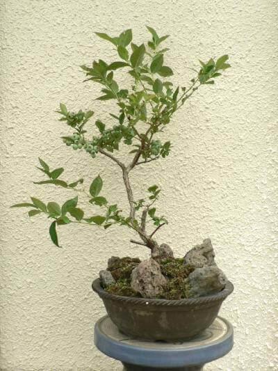 ブルーベリーの果樹盆栽