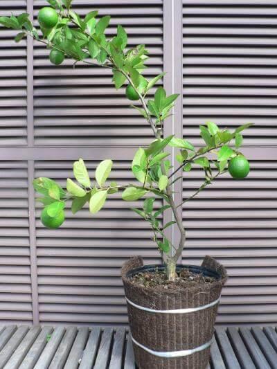 レモンの果樹盆栽