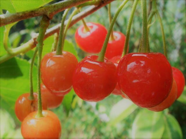 果樹盆栽_サクランボの写真