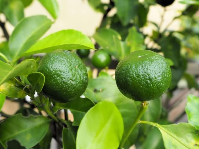 果樹盆栽_-シークワーサーの写真