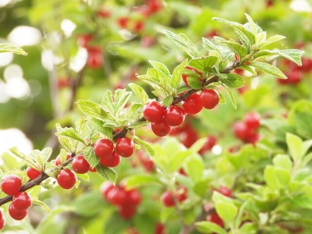 果樹盆栽_ユスラウメの写真
