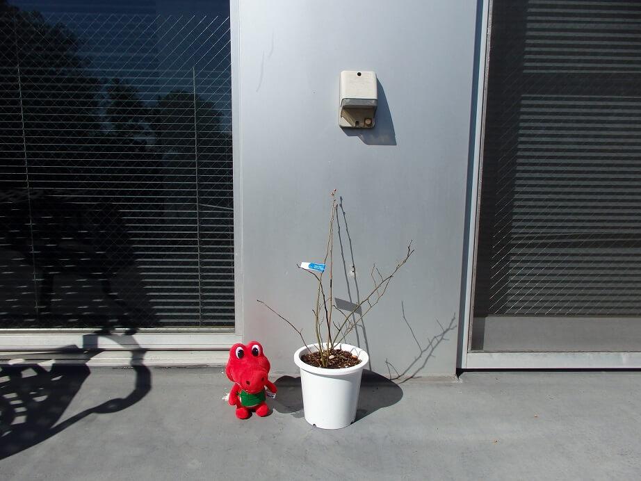 ブルーベリー苗の大きさ比較(アルスケぬいぐるみ14㎝)の写真