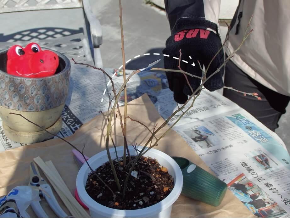 ブルーベリー苗-苗の状態チェック-枝を曲げて枯れていないか確認する写真