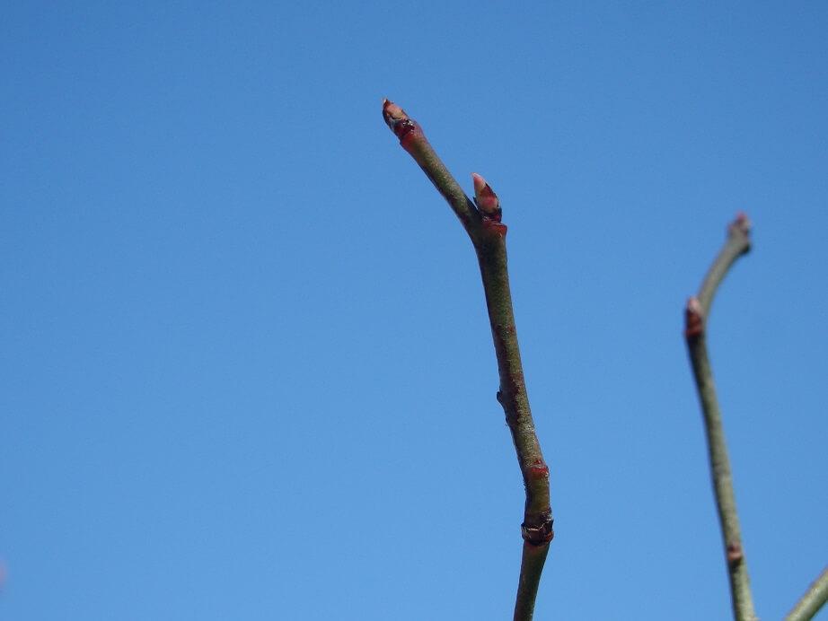 ブルーベリー苗-芽の状態チェック-葉芽の写真