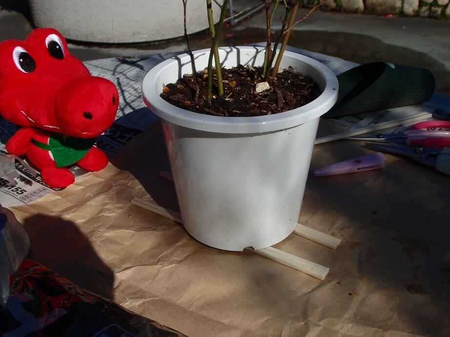 ブドウ苗のこれからの育て方-割り箸を底に敷いた鉢の写真