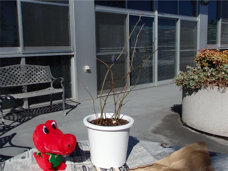 ブルーベリー苗-枝の剪定が必要か確認-枝の状態を確認する写真