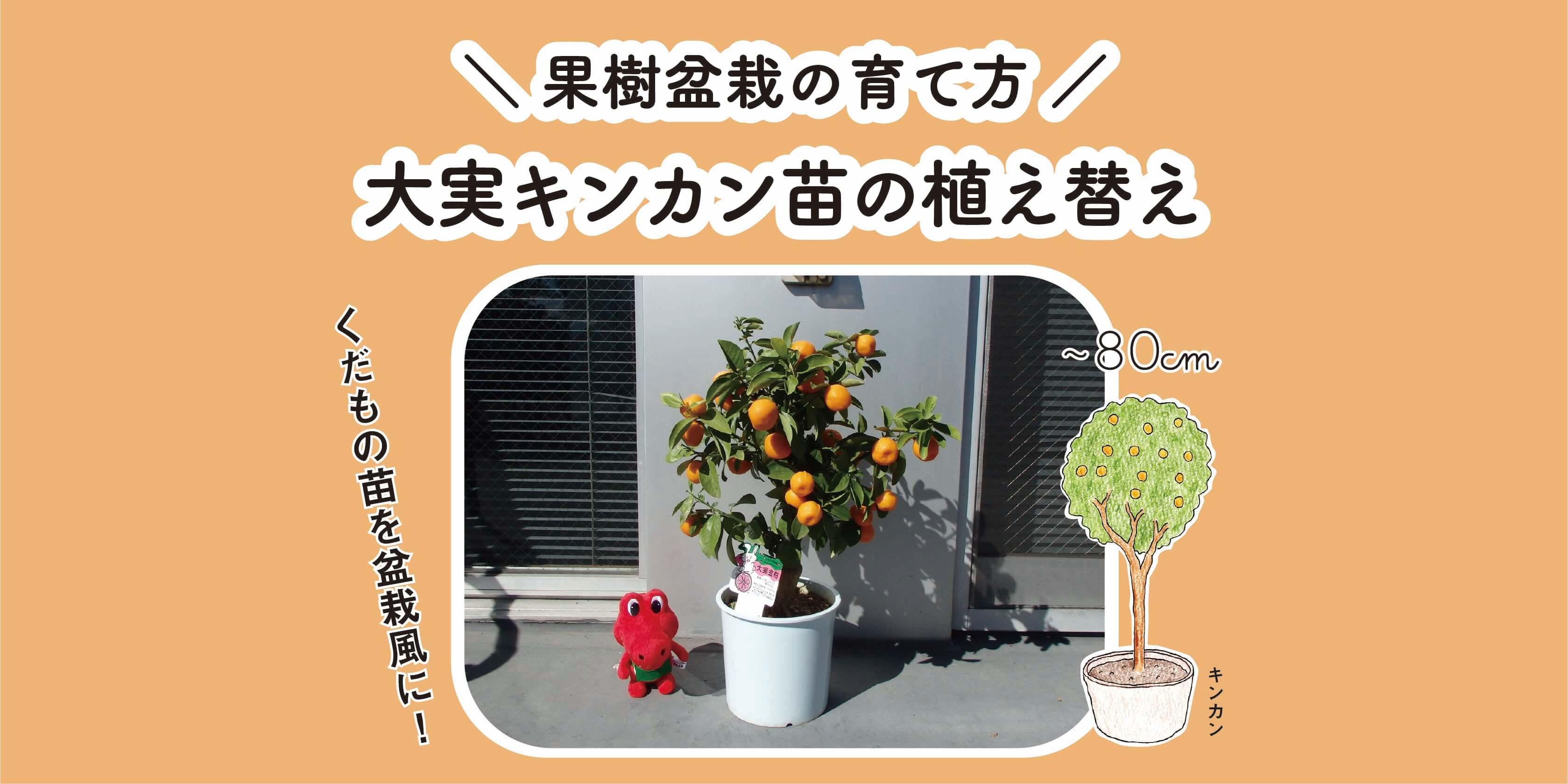 大実キンカン(金柑)苗の植え替え|果樹盆栽の育て方