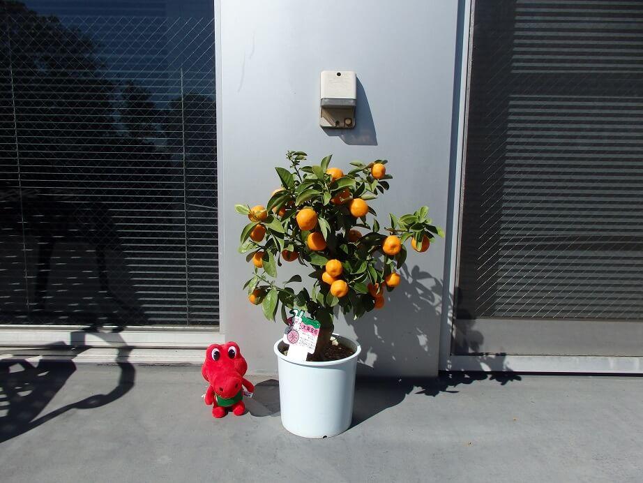 大実キンカン苗の大きさ比較(アルスケぬいぐるみ14㎝)の写真