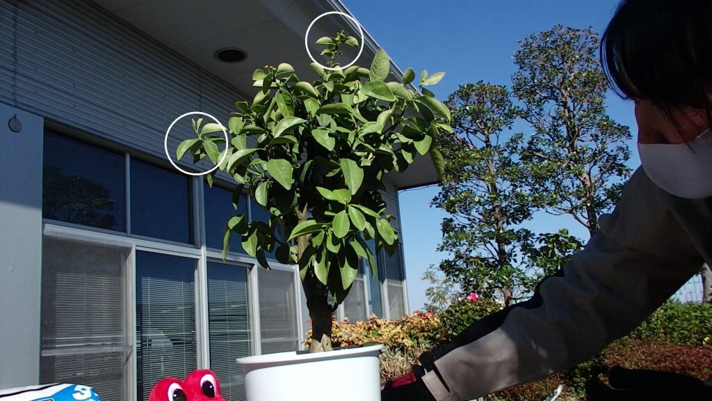 大実キンカン苗-枝の剪定が必要か確認する写真