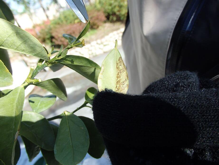 大実キンカン苗-状態の悪い葉を取り除いた写真
