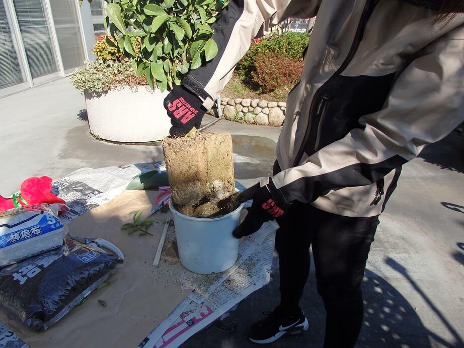 大実キンカン苗-根の状態チェック-苗を鉢から外した写真