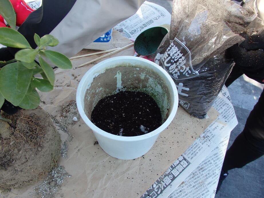 大実キンカン苗-植え替え-土を入れた写真
