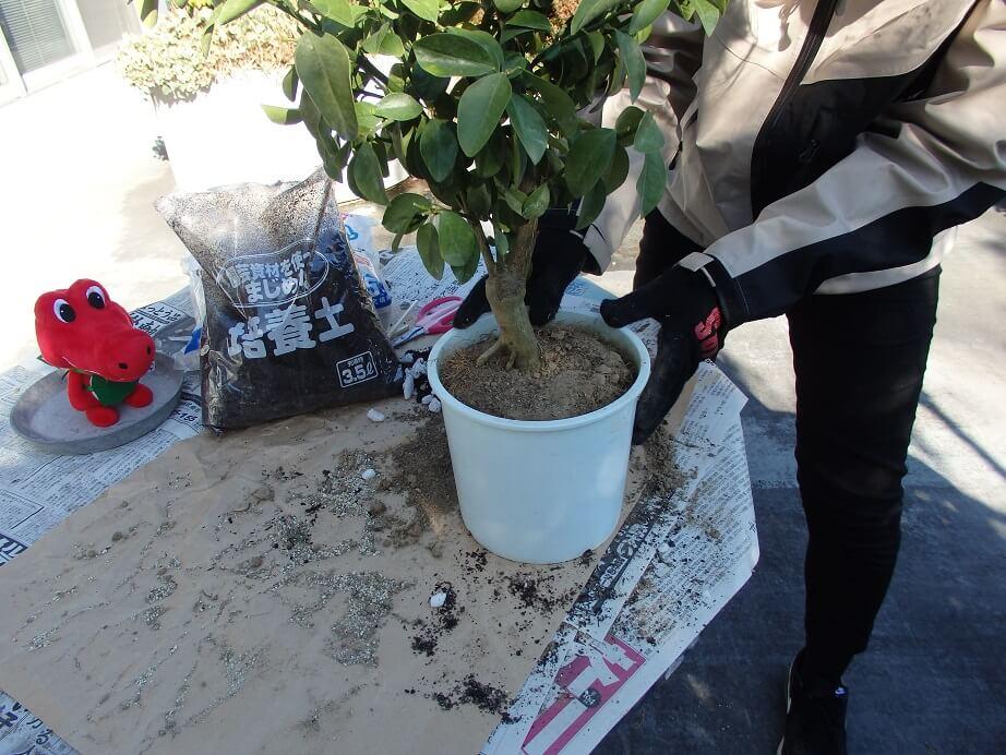 大実キンカン苗-植え替え-鉢へ戻したキンカン苗の写真