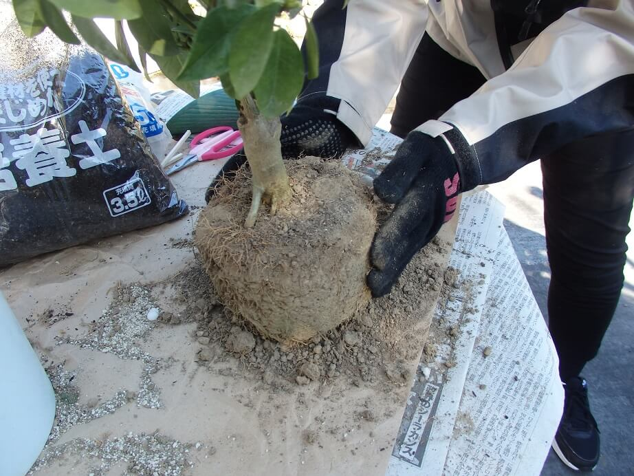 大実キンカン苗-植え替え-根鉢の面取りをする写真