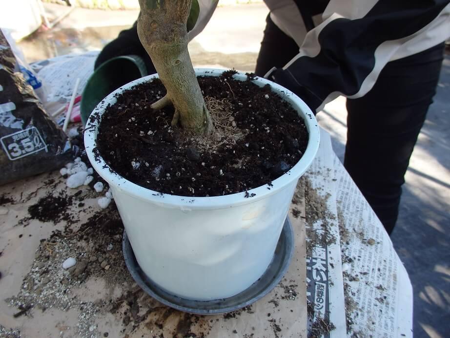 大実キンカン苗-植え替え-バーク堆肥を被せた写真