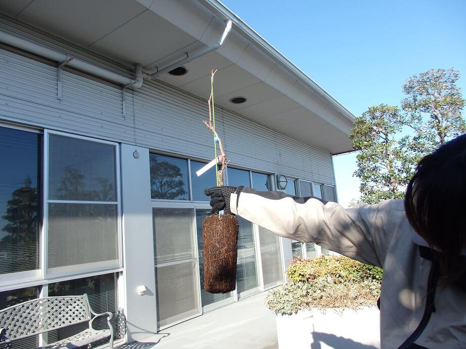 ブドウ苗の植え替え-根鉢をポットから外した写真