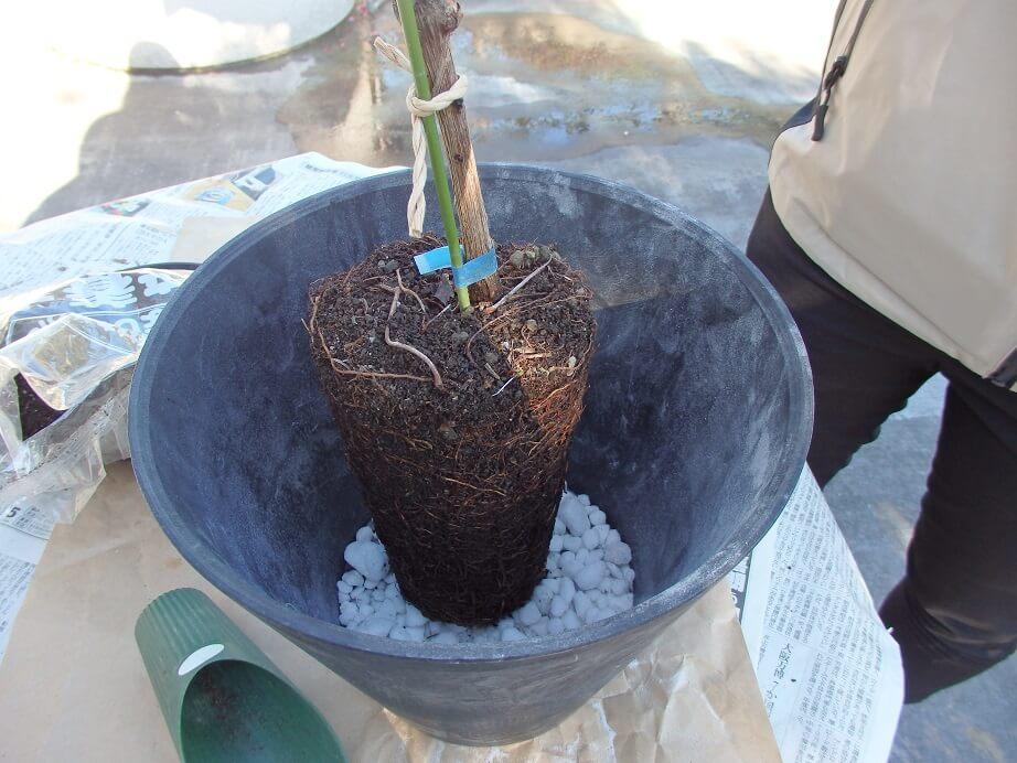 ブドウ苗の植え替え-根鉢を鉢の中に入れる写真