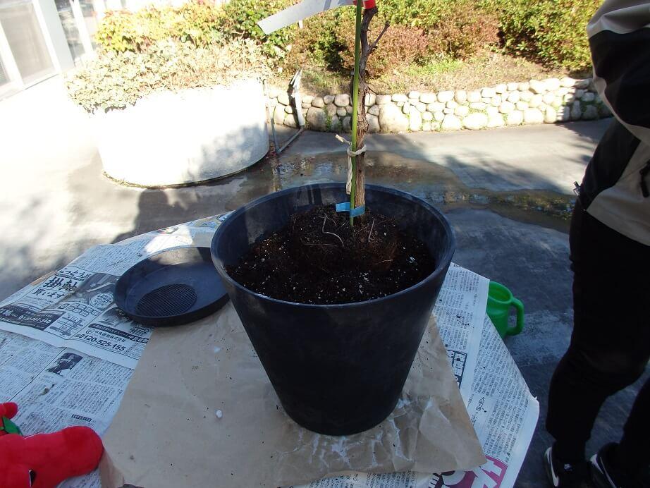ブドウ苗の植え替え-鉢に土を入れた状態の写真