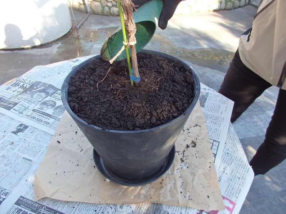 ブドウ苗の植え替え-バーク堆肥を被せた鉢の写真