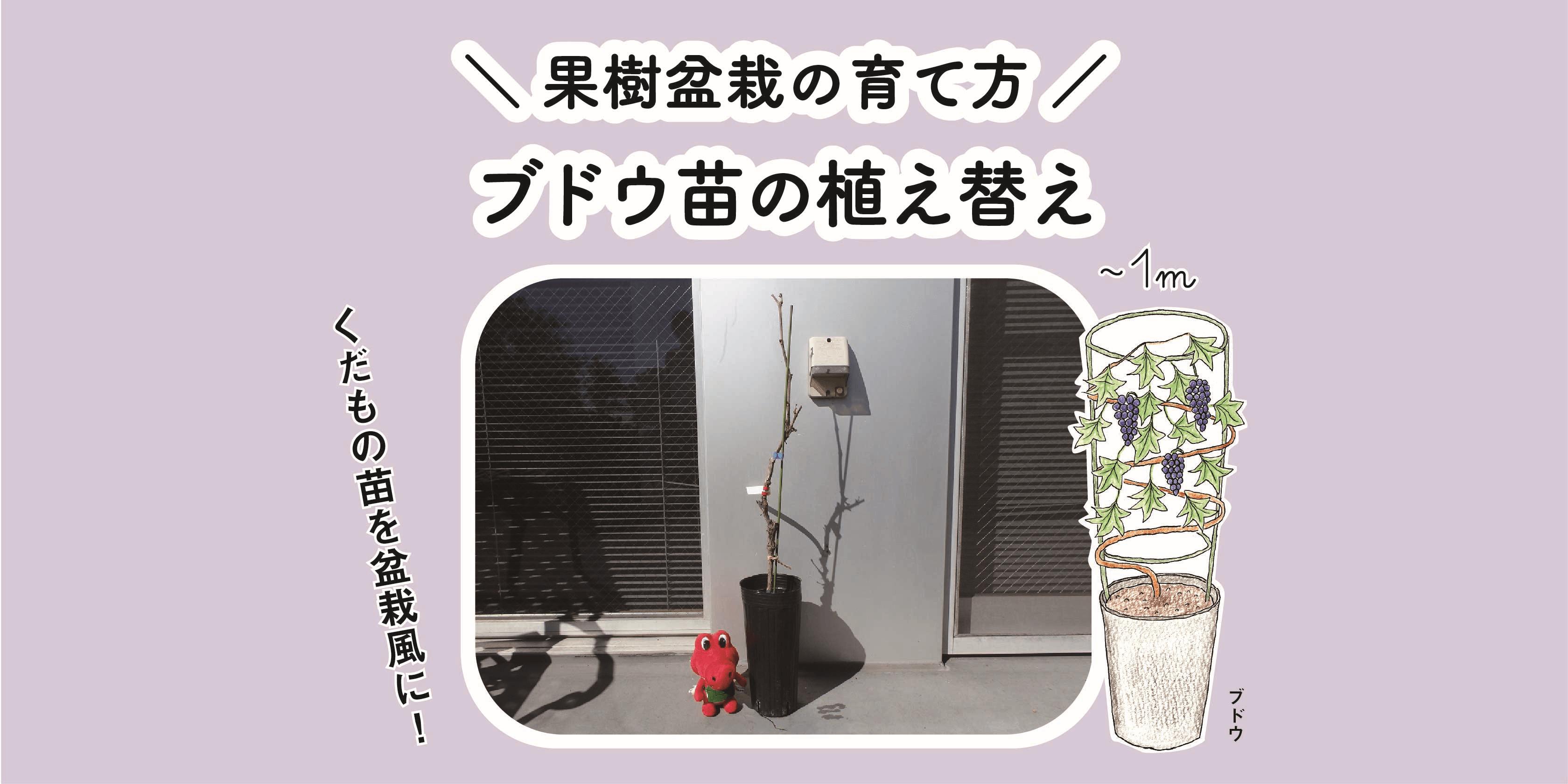 ブドウ苗(キャンベル・アーリー)の植え替え|果樹盆栽の育て方