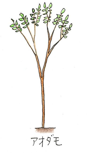 落葉樹のシンボルツリーにおすすめの庭木-アオダモのイラスト