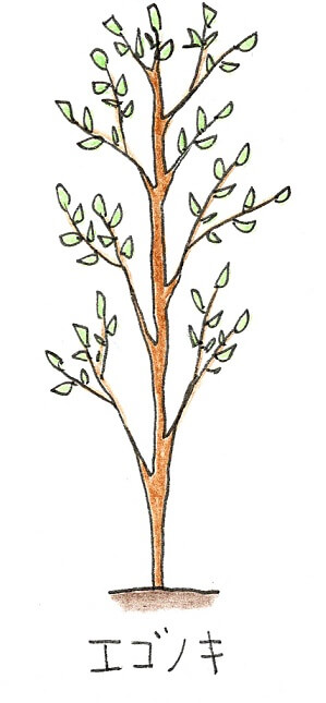 落葉樹のシンボルツリーにおすすめの庭木-エゴノキのイラスト