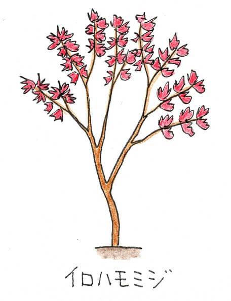 落葉樹のシンボルツリーにおすすめの庭木-イロハモミジのイラスト