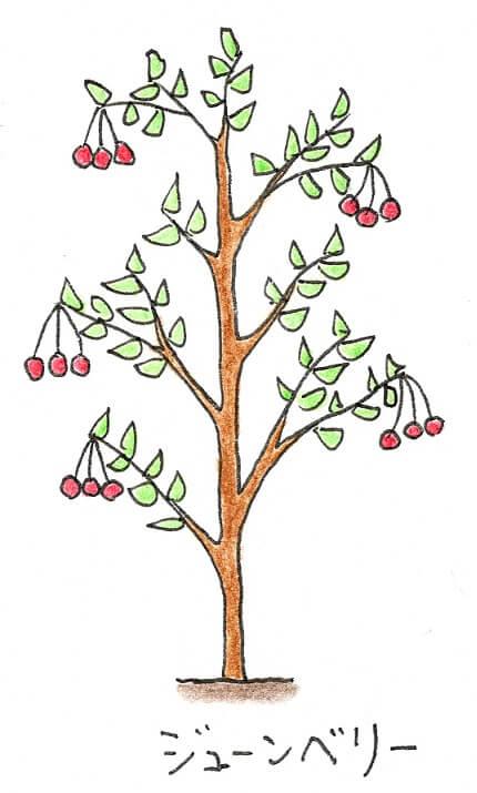 シンボルツリーにできる果樹(果物のなる木) -ジューンベリーのイラスト