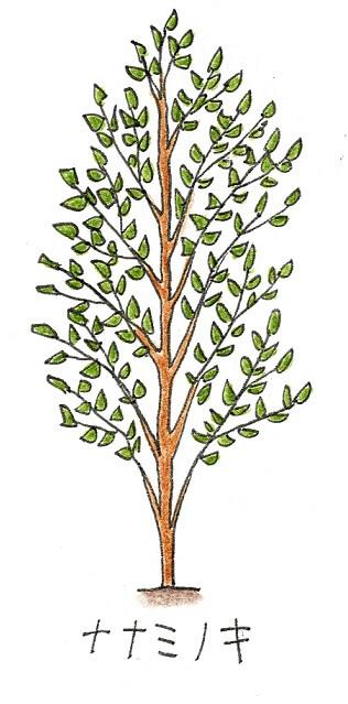常緑樹のシンボルツリーにおすすめの庭木-ナナミノキのイラスト