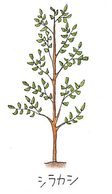 常緑樹のシンボルツリーにおすすめの庭木-白樫(シラカシ)のイラスト