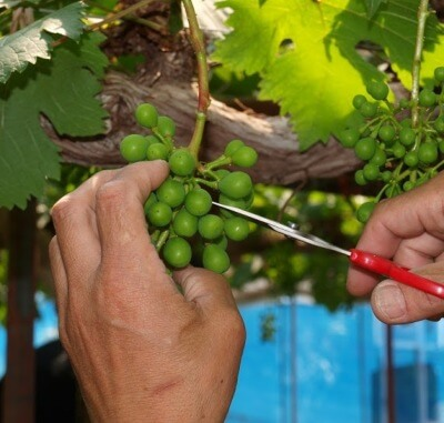 ブドウの摘粒作業の様子