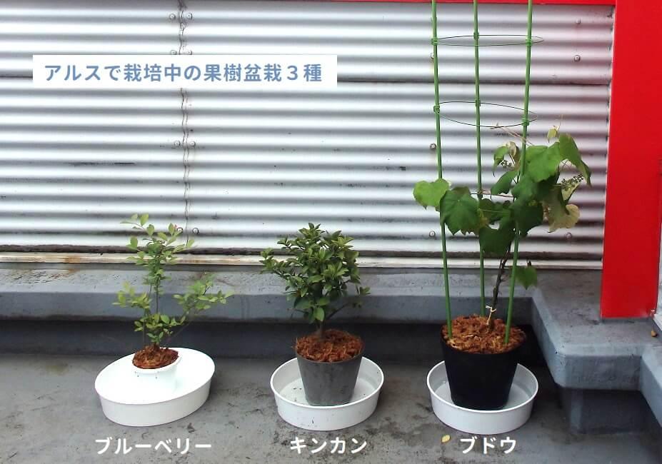 水ゴケの処置を施した果樹盆栽3種(ブルーベリー、キンカン、ブドウ)の写真