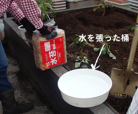 湿らせた水ゴケで乾燥を防ぐ_水ゴケを開けて水を張った桶に入れる写真