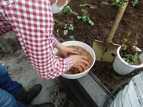 桶の中の水ゴケを押して水に浸している写真