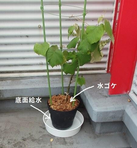 水ゴケ&底面給水で水切れを防ごう_水ゴケと底面給水を施したブドウの鉢植え