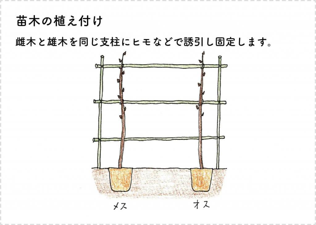 キウイフルーツの苗木の植え付けのイラスト