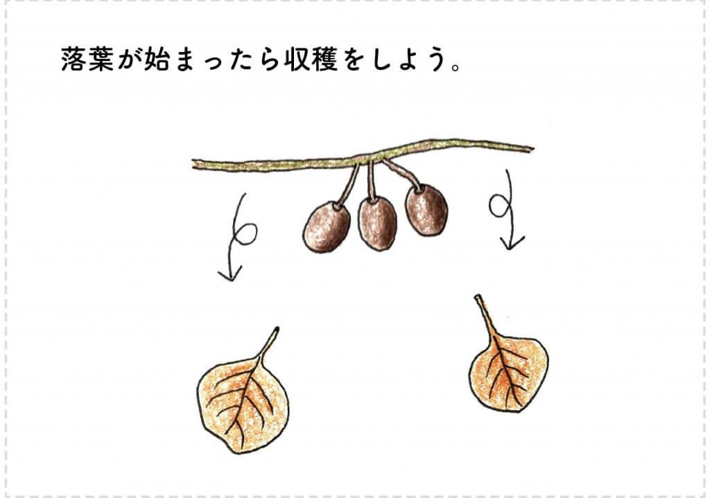 キウイの落葉