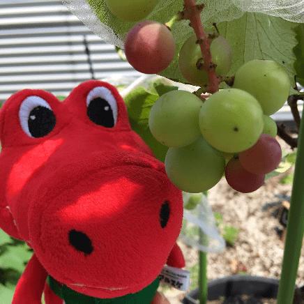 アルスケの近況(ブドウの実が色づいている様子)の写真